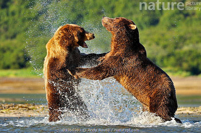 Two Grizzly bears (Ursus arctos horribilis) male (right) and female fighting over salmon, Katmai NP, Alaska, USA, August, ACTION,ALASKA,BEAR,BEARS,BEHAVIOUR,BROWN BEAR,CARNIVORES,FEEDING,FIGHTING,FISH,FISHING,MAMMALS,NP,RIVERS,STANDING,URSIDAE,USA,VERTEBRATES,WATER,Aggression,National Park,North America, Andy Rouse