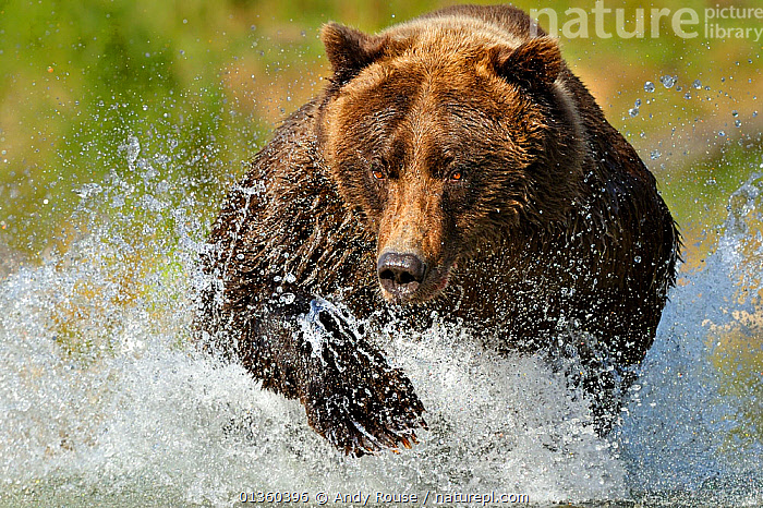 Grizzly bear (Ursus arctos horribilis) leaping through water chasing salmon, Katmai NP, Alaska, USA, September, (01360397 is a crop of this image), ACTION,alaska,BEARS,BEHAVIOUR,brown bear,CARNIVORES,FEEDING,FISHING,HUNTING,MAMMALS,NP,RIVERS,RUNNING,SALMON,splashing,Ursidae,USA,VERTEBRATES,WATER,National Park,North America, Andy Rouse