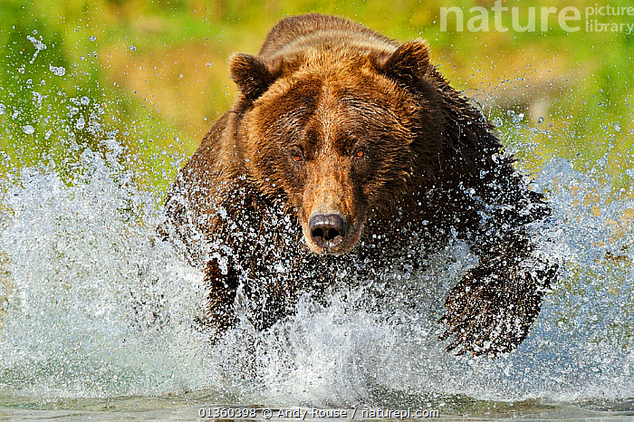 Grizzly bear (Ursus arctos horribilis) leaping through water chasing salmon, Katmai NP, Alaska, USA, September, (01360399 is a crop of this image), ACTION,alaska,BEARS,BEHAVIOUR,brown bear,CARNIVORES,FEEDING,FISHING,HUNTING,MAMMALS,NP,RIVERS,RUNNING,SALMON,splashing,Ursidae,USA,VERTEBRATES,WATER,National Park,North America, Andy Rouse