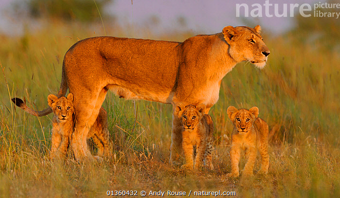 African Lion (Panthera leo) mother with young at sunrise (Notch's pride), Masai Mara GR, Kenya, February *Not available for print-on-demand until August 2015*, AFRICA,BABIES,BIG CATS,CARNIVORES,CUTE,EAST AFRICA,FAMILIES,FELIDAE,FEMALES,MAMMALS,MOTHER,MOTHER BABY,PROFILE,RESERVE,SAVANNA,VERTEBRATES,YOUNG,Grassland,Lions, Andy Rouse