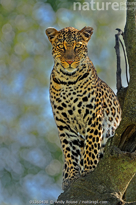 African leopard (Panthera pardus) female in tree, Masai Mara GR, Kenya, January, AFRICA,BIG CATS,CARNIVORES,COPYSPACE,EAST AFRICA,EYES,FELIDAE,FEMALES,LOOKING AT CAMERA,MAMMALS,PORTRAITS,RESERVE,VERTEBRATES,VERTICAL,Leopards, Andy Rouse