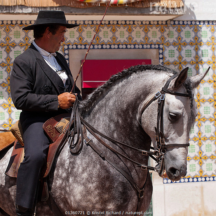 Portrait of a traditionally dressed estancia owner mounted on his stallion, during the Festa do Colete Encarnado (Red Waistcoat Festival), a bull running festival, in Vila Franca de Xira, District of Lisbon, Portugal, July 2011  ,  animal head,bull running,catalogue4,District of Lisbon,ears pricked,estancia,EUROPE,Festa do Colete Encarnado,festival,grey,harness,hat,holding,horseback,HORSES,local people,looking away,male animal,MALES,MAMMALS,MAN,mature adult,MATURE MAN,one animal,one man only,one person,PEOPLE,PERISSODACTYLA,portrait,PORTRAITS,PORTUGAL,Red Wasitcoat Festival,reins,riding,riding whip,SITTING,stallion,TRADITIONAL,traditional culture,traditional dress,VERTEBRATES,VERTICAL,Vila Franca de Xira,Equines  ,  Kristel Richard