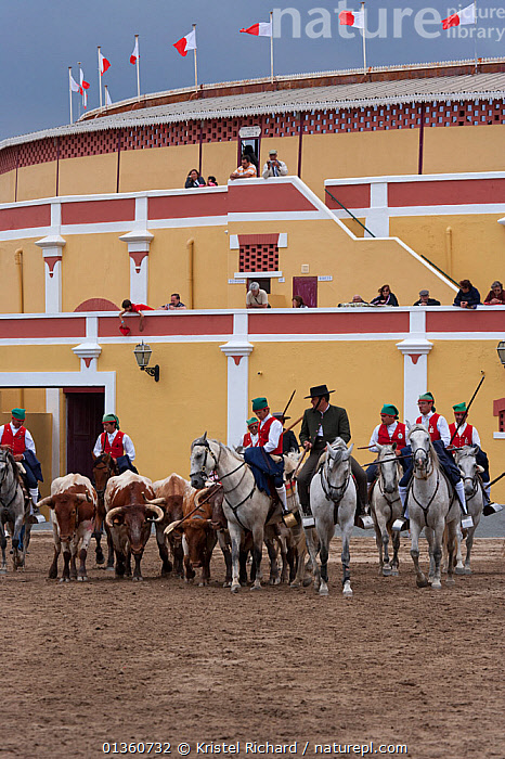 During the Festa do Colete Encarnado (Red Waistcoat Festival), a bull running festival, traditionally dressed cowboys, mounted on their horses, drive the bulls in front of the bullring of Vila Franca de Xira, District of Lisbon, Portugal, July 2011, BUILDINGS,BULLS,CATTLE,EUROPE,FESTIVAL,FLAGS,GREY,GROUPS,HORSES,LIVESTOCK,MAMMALS,MAN,PEOPLE,PERISSODACTYLA,PORTUGAL,RIDING,TRADITIONAL,VERTEBRATES,Equines, Kristel Richard