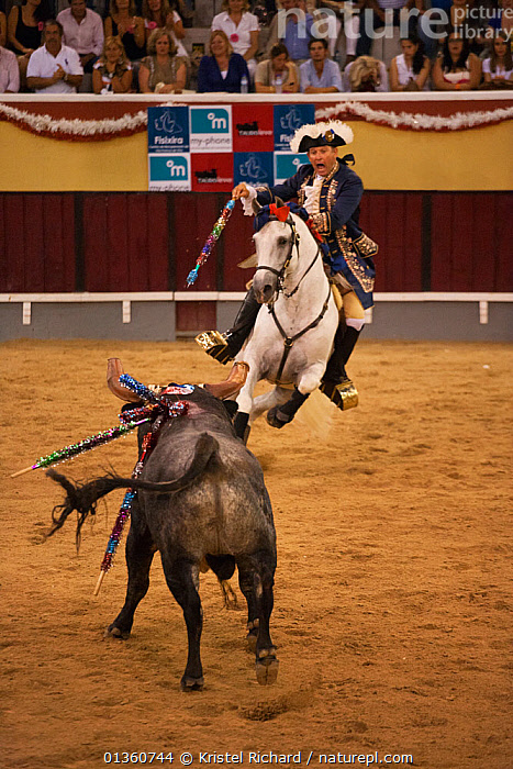 During the Festa do Colete Encarnado (Red Waistcoat Festival), a bull running festival, a traditionally dressed 'cavalheiro' delivers the 'banderilla' mounted on his Lusitano stallion in the bullring of Vila Franca de Xira, District of Lisbon, Portugal, July 2011  ,  animal sport,attacking,background people,banderilla,blood sport,bull,bull fight,bull running,bullfighting,bullring,bulls,catalogue4,CATTLE,charging,District of Lisbon,EUROPE,Festa do Colete Encarnado,festival,FIGHTING,Horse,horseback,HORSES,male animal,MAMMALS,MAN,mid adult,one person,PEOPLE,PERISSODACTYLA,PORTUGAL,Red Waistcoat Festival,riding,shouting,SPECTATORS,stallion,tow animals,TRADITIONAL,traditional culture,traditional dress,VERTEBRATES,VERTICAL,Vila Franca de Xira,Aggression,Equines  ,  Kristel Richard