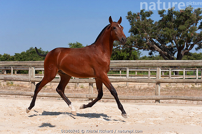 A purebred Lusitano colt (with his mane and tail cut to mark his first year) trotting in the arena at the Companhia das Lez�rias Stud Farm, Samora Correia, Santar�m, Portugal, July 2011  ,  ACTION,bay,BROWN,catalogue4,colt,Companhia das Lezirias,ELEGANCE,EUROPE,foal,full length,HORSES,Lusitano,male animal,MAMMALS,MOVEMENT,Nobody,on the move,one animal,paddock,PERISSODACTYLA,PORTUGAL,pride,Purebred,RUNNING,Samora Correia,Santarem,side view,Stud Farm,Thoroughbred,TRADITIONAL,trotting,VERTEBRATES,young animal,Equines  ,  Kristel Richard