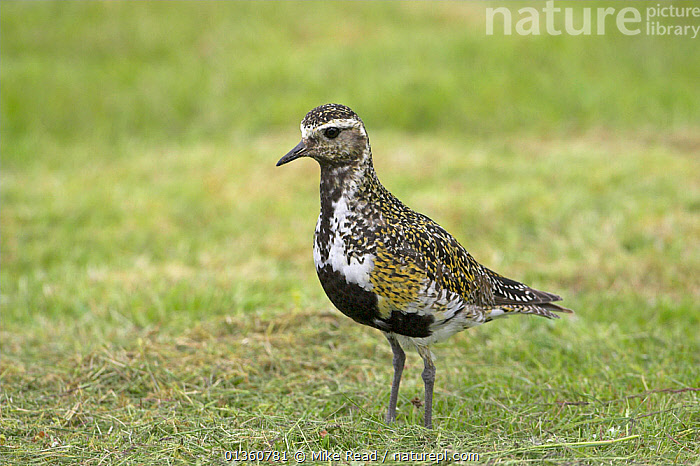 European golden plover (Pluvialis apricaria) Iceland July, BIRDS,EUROPE,GRASSLAND,ICELAND,PLOVERS,PORTRAITS,PROFILE,STANDING,VERTEBRATES,WADERS, Mike Read