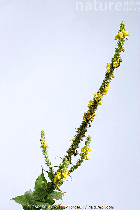 Great / Common Mullein / Aaron's Rod (Verbascum thapsus). Picardy, France, July.  ,  CUTOUT,DICOTYLEDONS,EUROPE,FLOWERS,FRANCE,MEDICINAL,PICARDIE,PLANTS,SCROPHULARIACAEA,STUDIO,VERTICAL  ,  Pascal Tordeux
