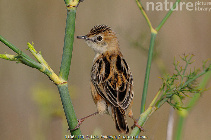 Fan tailed warbler (Cisticola juncidis) perched in marsh, Vendee, west France, August  ,  BIRDS,CISTICOLIDAE,EUROPE,FRANCE,MARSHES,PORTRAITS,SONGBIRDS,VERTEBRATES,WARBLERS,Wetlands  ,  Loic Poidevin