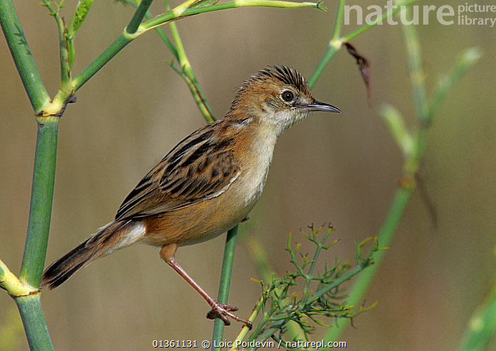 Fan tailed warbler (Cisticola juncidis) perched in marsh, Vendee, west France, August  ,  BIRDS,CISTICOLIDAE,EUROPE,FRANCE,MARSHES,PORTRAITS,PROFILE,SONGBIRDS,VERTEBRATES,WARBLERS,WETLANDS  ,  Loic Poidevin