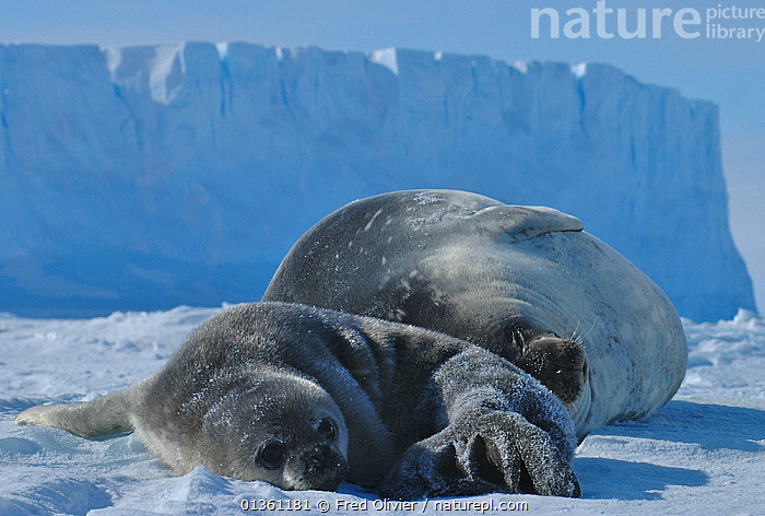 Weddell seal (Leptonychotes weddellii) pup on ice beside mother, Antarctica, Taken on location for the BBC series, Frozen Planet.  ,  ANTARCTICA,BABIES,CARNIVORES,CLIFFS,FAMILIES,FROZEN PLANET,ICE,ICE CLIFF,MAMMALS,MARINE,MOTHER BABY,PINNIPEDS,SEALS,VERTEBRATES,Geology  ,  Fred Olivier