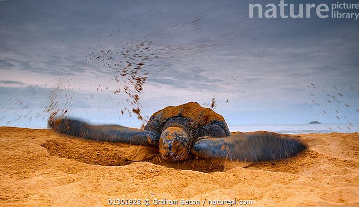 Leatherback Turtle (Dermochelys coriacea) covering her nest with sand after egg laying. Cayenne, French Guiana, July., BEHAVIOUR,CHELONIA,ENDANGERED,FEMALES,FRENCH GUIANA,GUYANA,LAYING,MARINE,NESTS,REPTILES,SAND,SEA TURTLES,SOUTH AMERICA,TURTLES,SOUTH-AMERICA, Graham Eaton