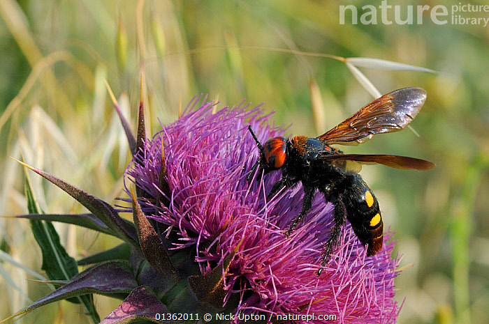 Mammoth / Giant solitary wasp (Megascolia maculata maculata) female feeding from Milk thistle (Silybum / Carduus marianum) flower, Lesbos / Lesvos, Greece, June.  ,  AEGEAN,ASTERACEAE,EUROPE,FEEDING,FEMALES,FLOWERS,FORAGING,GREECE,HAIRY,HYMENOPTERA,INSECTS,INVERTEBRATES,ISLANDS,LARGE,MEDITERRANEAN,PLANTS,PORTRAITS,PURPLE,SCOLIID,SCOLIIDAE,THISTLES,WASPS  ,  Nick Upton