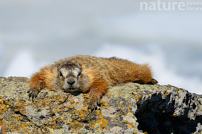 Yellow-bellied Marmot (Marmota flaviventris) basking on a rock in the sun. Yellowstone National Park, Wyoming, USA, June.  ,  HUMOROUS,LOOKING AT CAMERA,LYING,MAMMALS,MARMOTS,NORTH AMERICA,NP,RESERVE,RESTING,RODENTS,TIRED,USA,VERTEBRATES,WYOMING,Concepts,National Park  ,  George Sanker