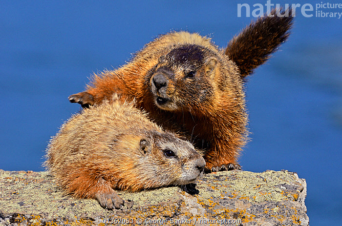 Yellow-bellied Marmots (Marmota flaviventris) mating. Yellowstone National Park, Wyoming, USA, June.  ,  BEHAVIOUR,COPULATION,MALE FEMALE PAIR,MAMMALS,MARMOTS,MATING,MATING BEHAVIOUR,NORTH AMERICA,NP,RESERVE,RODENTS,TWO,USA,VERTEBRATES,WYOMING,Reproduction,National Park  ,  George Sanker