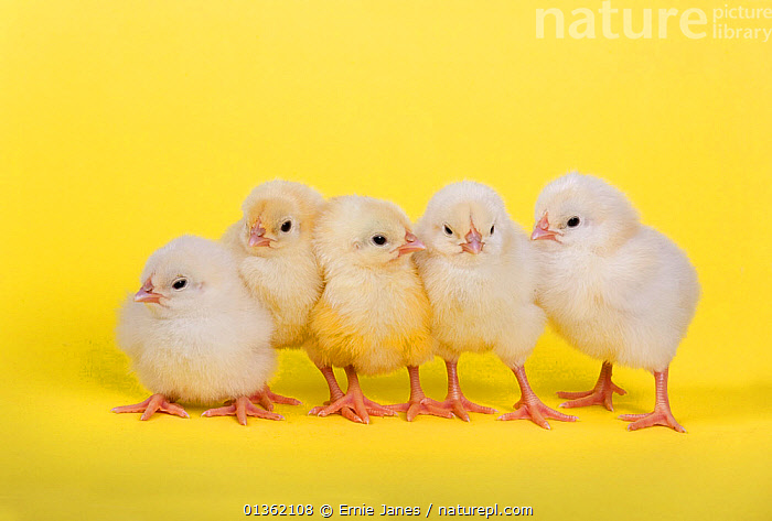 Five newly hatched chicks in a row, BABIES,BIRDS,catalogue4,chickens,CHICKS,CUTE,Easter,FIVE,five animals,FLUFFY,fowl,full length,GROUPS,hen,hues,in a line,medium group of animals,new life,Nobody,POULTRY,shades of colour,siblings,side by side,SPRING,STANDING,studio shot,YELLOW, Ernie Janes