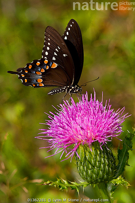 Spicebush swallowtail butterfly (Papilio troilus) feeding on thistle plant, Durham, Connecticut, USA, August  ,  BEHAVIOUR,BUTTERFLIES,FEEDING,FLOWERS,INSECTS,INVERTEBRATES,LEPIDOPTERA,NORTH AMERICA,PINK,SWALLOWTAIL BUTTERFLIES,THISTLES,USA,VERTICAL,WINGS  ,  Lynn M Stone