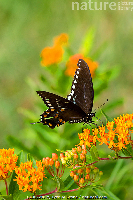 Spicebush swallowtail butterfly (Papilio troilus) feeding on Butterfly weed (Asclepias tuberosa) flowers, Old Saybrook, Connecticut, USA, August  ,  ASCLEPIADACEAE,BEHAVIOUR,BUTTERFLIES,DICOTYLEDONS,FEEDING,FLOWERS,INSECTS,INVERTEBRATES,LEPIDOPTERA,NORTH AMERICA,ORANGE,PLANTS,SWALLOWTAIL BUTTERFLIES,USA,VERTICAL  ,  Lynn M Stone