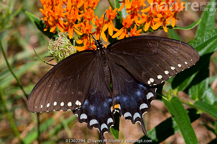 Spicebush swallowtail butterfly (Papilio troilus) feeding on Butterfly weed (Asclepias tuberosa) flower, Old Saybrook, Connecticut, USA, August  ,  ASCLEPIADACEAE,BEHAVIOUR,BLACK,BUTTERFLIES,DICOTYLEDONS,FEEDING,FLOWERS,INSECTS,INVERTEBRATES,LEPIDOPTERA,NORTH AMERICA,ORANGE,PAPILIONIDAE,PLANTS,SPOTS,SWALLOWTAIL BUTTERFLIES,USA,WINGS  ,  Lynn M Stone