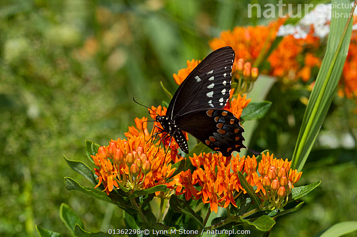Spicebush swallowtail butterfly (Papilio troilus) feeding on Butterfly weed (Asclepias tuberosa) flowers, Old Saybrook, Connecticut, USA, August  ,  ASCLEPIADACEAE,BEHAVIOUR,BUTTERFLIES,DICOTYLEDONS,FEEDING,FLOWERS,INSECTS,INVERTEBRATES,LEPIDOPTERA,NORTH AMERICA,ORANGE,PAPILIONIDAE,PLANTS,SWALLOWTAIL BUTTERFLIES,USA  ,  Lynn M Stone