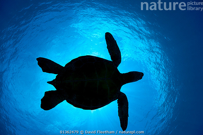 Silhouette of a Green Sea Turtle (Chelonia mydas) passes overhead. West Maui, Hawaii., ABSTRACT,BLUE,CHELONIA,ENDANGERED,HAWAI,HAWAII,HAWAI'I,LOW ANGLE SHOTS,MARINE,OUTLINES,PACIFIC ISLANDS,REPTILES,SEA TURTLES,SHAPES,SILHOUETTES,TROPICAL,TURTLES,UNDERWATER,USA,North America, David Fleetham