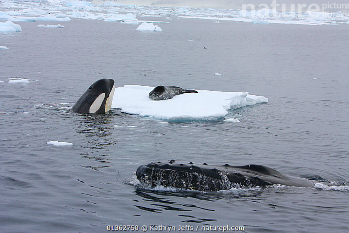 Southern Type B Killer whale (Orcinus orca) hunting Weddell seal (Leptonychotes weddelli) spyhopping to assess where seal is on ice, whilst Humpback whale (Megaptera novaeangliae) surfaces nearby, Antarctica.  Taken on location for BBC Frozen Planet series, January 2009, ANTARCTICA,baleen,BBC,CETACEANS,DOLPHINS,floes,frozen planet,HUNTING,hunting behaviour,ICE,INTELLIGENCE,INTERESTING,MAMMALS,MARINE,mixed species,NHU,OCEAN,PINNIPEDS,POLAR,PREDATION,prey,sea,SEALS,technique,VERTEBRATES,WHALES,CARNIVORES ,Behaviour, Kathryn Jeffs