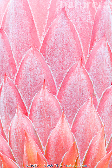 King Protea (Protea cynaroides) bud close-up detail. Maui, Hawaii, February.  ,  ABSTRACT,ARTY SHOTS,BACKGROUNDS,CLOSE UPS,DICOTYLEDONS,HAWAII,MACRO,NORTH AMERICA,PACIFIC ISLANDS,PATTERNS,PLANTS,PROTEACEAE,USA,VERTICAL  ,  Rob Tilley