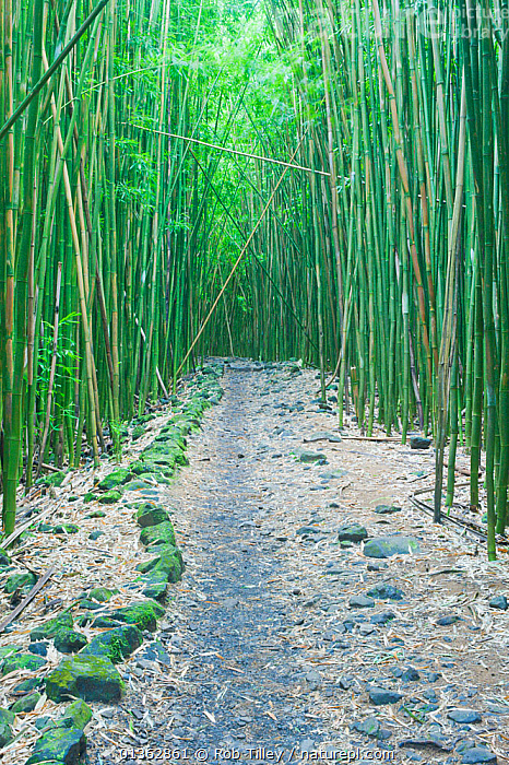 Pipiwai Trail through Bamboo (Poaceae) forest. Maui, Hawaii, February.  ,  catalogue4, footpath, forest, FORESTS, GRAMINEAE, GRASSES, Hawaii, maui, MONOCOTYLEDONS, nature, Nobody, NORTH-AMERICA, PACIFIC-ISLANDS, path, paths, perspective, Pipiwai, PLANTS, trail, USA, VERTICAL,North America  ,  Rob Tilley
