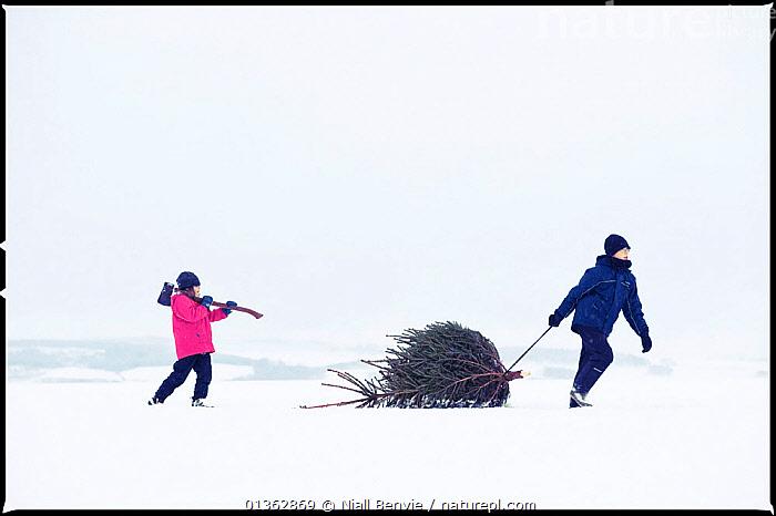 Boy and girl dragging a Christmas tree home from the forest, Angus, Scotland, UK, January 2010, model released, Angus,axe,Boy,brother,CARRYING,carrying on shoulder,catalogue4,Childhood,CHILDREN,children only,Christmas,christmas tree,COLD,CONIFEROUS,copyspace,DRAGGING,effort,EUROPE,Following,forest,full length,girl,outdoors,PEOPLE,pulling,SCOTLAND,side view,sister,SNOW,TREES,two,two people,UK,WALKING,WHITE,WINTER,PLANTS,United Kingdom, Niall Benvie