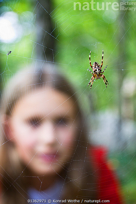 Girl looking at Garden Spider (Araneus diadematus) on web. Upper Bavaria, Germany, Europe, September. Model released., ARACHNIDS,ARTHROPODS,catalogue4,CHILDREN,close up,curiosity,EUROPE,focus on foreground,GARDENS,GERMANY,girl,INTERACTION,intricacy,INVERTEBRATES,nature,one animal,one girl only,one person,ORB WEAVER SPIDERS,outdoor,PEOPLE,selective focus,SPIDERS,spiders web,Upper Bavaria,VERTICAL,watching,webs,WILDLIFE,YOUNG, Konrad Wothe