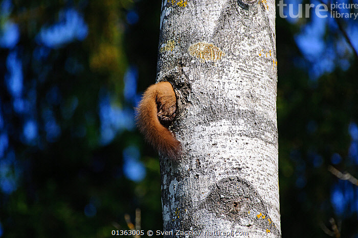 Tail of a Pine Marten (Martes martes) sticking out from a black woodpecker hole as it forages for eggs and chicks. Estonia, Europe, May., BALTIC,BEHAVIOUR,black woodpecker,CARNIVORES,catalogue4,CRYPTIC,EASTERN EUROPE,Estonia,EUROPE,FORAGING,hole,holes,humrorous,MAMMALS,MARTENS,MUSTELIDS,nature,NESTS,Nobody,one animal,PREDATION,predators,prey,searching,sticking out of,tail,theft,tree trunk,treetrunk,VERTEBRATES,WILDLIFE,woodland,WOODPECKERS, Sven Zacek