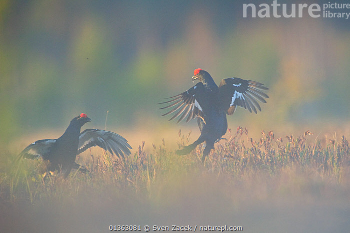 Two Black Grouse (Tetrao tetrix) fighting at a lek. Virumaa, Estonia, Europe, April.  ,  AGGRESSION,BALTIC,BEHAVIOUR,BIRDS,blackcock,catalogue4,competitive,conflict,COURTSHIP,DISPLAY,EASTERN EUROPE,Estonia,EUROPE,face to face,FIGHTING,GALLIFORMES,GAME BIRDS,GROUSE,lek,leks,MALES,Nobody,Phasianidae,TERRITORIAL,Threats,two,two animals,VERTEBRATES,Virumaa,WILDLIFE,Communication  ,  Sven Zacek