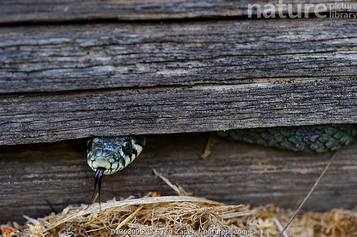 Grass Snake (Natrix natrix) looking out from between wood slats. Estonia, Europe, June., animal head,BALTIC,catalogue4,close up,COLUBRIDS,CUTE,EASTERN EUROPE,Estonia,EUROPE,fearful,fence,Hidden,hiding,looking,nervous,Nobody,one animal,peeking,REPTILES,searching,SNAKES,timid,VERTEBRATES,Wood, Sven Zacek