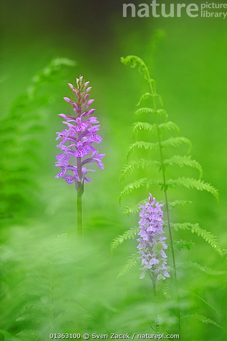 Common Spotted Orchid (Dactylorhiza fuchsii) in soft focus by fern fronds. Estonia, Europe, June.  ,  BALTIC,catalogue4,close up,differential focus,EASTERN EUROPE,Estonia,EUROPE,fern,flowering plant,FLOWERS,fragility,frond,GREEN,green colour,leaf,MONOCOTYLEDONS,nature,Nobody,nostalgia,ORCHIDACEAE,orchids,PLANTS,PURPLE,selective focus,soft focus,soft focus,VERTICAL,wet  ,  Sven Zacek