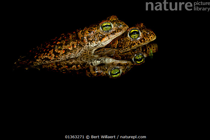 Amplectant pair of Natterjack Toads (Epidalea / Bufo calamita) with reflection in water. Belgium, Europe, July., affection,AMPHIBIANS,animal marking,Anura,BEHAVIOUR,BELGIUM,BLACK,black background,Bufonidae,catalogue4,close up,COPULATION,copyspace,dark,EMBRACING,Epidalea,EUROPE,MALE FEMALE PAIR,mating,negative space,NIGHT,Nobody,on top of,reassurance,reflection,side view,sleepy,TOADS,Togetherness,two,two animals,VERTEBRATES,WATER,WILDLIFE,Reproduction, Bert Willaert