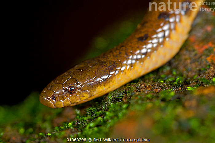 Nature Picture Library - Olive Trapezoid Snake (Rhabdops