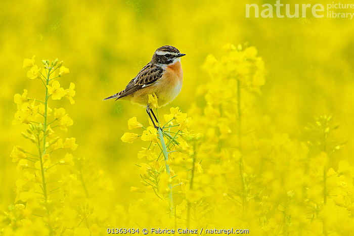 Male Whinchat (Saxicola rubetra) perched on Oil seed rape (Brassica napus) in a field, Vosges, France, April  ,  alert,BIRDS,Brassica,BRASSICA NAPUS,BRASSICACEAE,catalogue4,close up,CROPS,CUTE,DICOTYLEDONS,EUROPE,Field,flowering plant,FRANCE,full length,male animal,MALES,MUSCICAPIDAE,nature,Nobody,OIL SEED RAPE ,one animal,Perching,PLANTS,side view,songbirds,VERTEBRATES,Vosges,watchful,WILDLIFE,YELLOW  ,  Fabrice Cahez