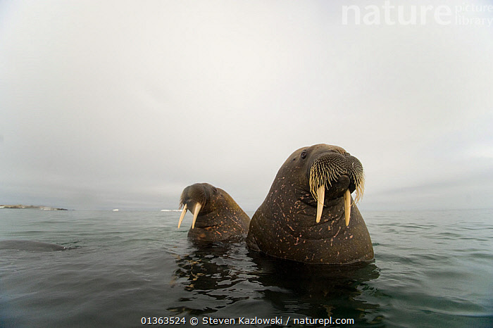 Walrus (Odobenus rosmarus) two young bulls, in waters along Spitsbergen and the northwestern coast of the Svalbard Archipelago, Norway, Arctic Ocean, July  ,  animal head,archipelago,ARCTIC,ATLANTIC,bad weather,CARNIVORES,catalogue4,confusion,FACES,HEADS,ICE,lost,low visibility,male animal,MALES,MAMMALS,MARINE,Nobody,NORWAY,OCEAN,Pair,PINNIPEDS,POLAR,PORTRAITS,spitsbergen,subadult,SUMMER,SURFACE,Svalbard,Tusk,two,two animals,VERTEBRATES,WALRUSES,WATER,WILDLIFE,young animal,Europe,Scandinavia  ,  Steven Kazlowski