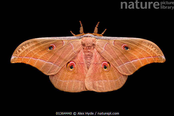 Assam silkmoth (Antheraea assamensis) male, photographed on a black background, originating from India, Burma and Sundaland, Captive.  ,  BLACK,BURMA,COLOURFUL,CUTOUT,EMPEROR MOTHS,EYES,INSECTS,INVERTEBRATES,LEPIDOPTERA,MACRO,MALES,MOTHS,ORANGE,PINK,PORTRAITS,SPOTS,STUDIO,WINGS  ,  Alex Hyde
