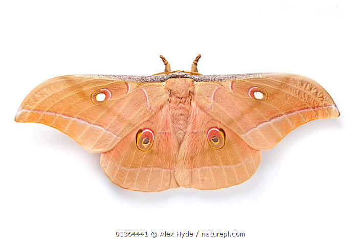 Assam silkmoth (Antheraea assamensis) male, photographed on a white background, originating from India, Burma and Sundaland, Captive.  ,  BURMA,COLOURFUL,CUTOUT,EMPEROR MOTHS,EYES,INSECTS,INVERTEBRATES,LEPIDOPTERA,MACRO,MALES,MOTHS,ORANGE,PINK,PORTRAITS,SPOTS,STUDIO,WHITE BACKGROUND,WINGS  ,  Alex Hyde