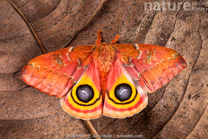 Bullseye / Io moth (Automeris io) showing eye spot markings on wings during deimatic display to deter predators, originating from North and Central America, sequence 2 of 2. Captive.  ,  BEHAVIOUR,BLACK,BROWN,COLOURFUL,DEFENSIVE,DISPLAY,EMPEROR MOTHS,EYES,INSECTS,INVERTEBRATES,LEAVES,LEPIDOPTERA,MACRO,MOTHS,ORANGE,SEQUENCE,SPOTS,STUDIO,WINGS,YELLOW,Communication  ,  Alex Hyde
