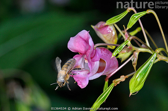 Honey bee (Apis mellifera) leaving flower of  Himalayan balsam (Impatiens glandulifera) with pollen on its back and wings, Surrey, UK, August  ,  ALIEN,APIDAE,ARTHROPODS,BEES,ENGLAND,EUROPE,FLOWERS,HYMENOPTERA,INSECTS,INTRODUCED,INVASIVE,INVERTEBRATES,PINK,PLANTS,POLLEN,POLLINATION,UK,United Kingdom ,honeybee,honeybees,,Dispersal,  ,  Adrian Davies