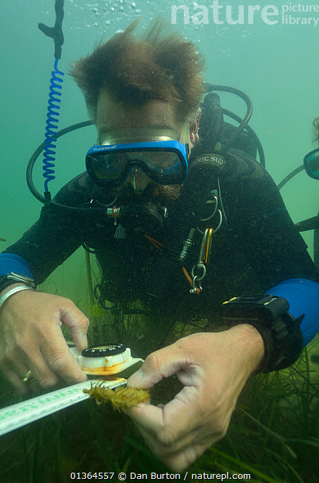 Neil Garrick-Maidment from the Seahorse Trust tagging a Spiny / Yellow Seahorse (Hippocampus guttulatus). Studland Bay, Dorset, UK, September 2011.  ,  ATLANTIC,COASTAL WATERS,CONSERVATION,DIVERS,DIVING,EUROPE,FISH,MARINE,OSTEICHTHYES,PEOPLE,RESEARCH,SEAHORSES,TEMPERATE,UK,UNDERWATER,VERTEBRATES,VERTICAL,ENGLAND,United Kingdom  ,  Dan Burton