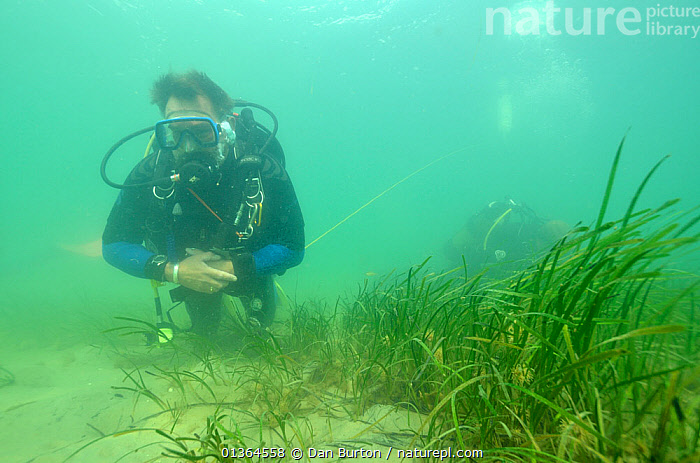 Neil Garrick-Maidment from the Seahorse Trust looking for seahorses to study. Studland Bay, Dorset, UK, September.  ,  ATLANTIC,COASTAL WATERS,CONSERVATION,DIVERS,DIVING,EUROPE,FISH,MARINE,OSTEICHTHYES,PEOPLE,SEAHORSES,TEMPERATE,UK,UNDERWATER,VERTEBRATES,ENGLAND,United Kingdom  ,  Dan Burton
