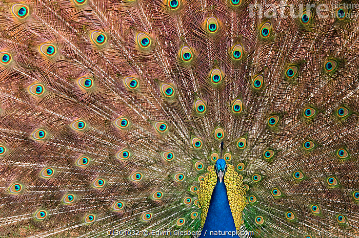 Male Indian peafowl (Pavo cristatus) displaying, captive  ,  BEHAVIOUR,BIRDS,BLUE,captive animal,catalogue4,close up,COLOURFUL,COURTSHIP,DISPLAY,FEATHERS,full frame,GALLIFORMES,male animal,MALES,MATING BEHAVIOUR,natural pattern,Nobody,one animal,PATTERNS,Peacock,peacock feather,Phasianidae,pride,showing off,tail feather,TAILS,VERTEBRATES,Communication  ,  Edwin Giesbers