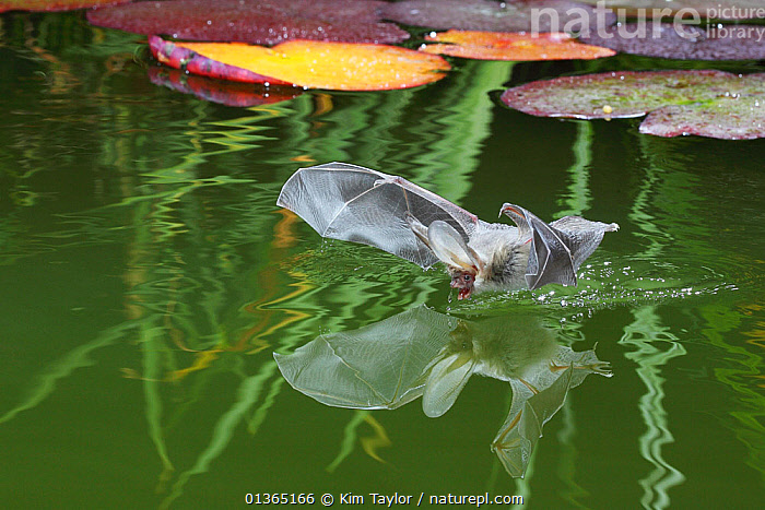Brown Long-eared bat (Plecotus auritus) drinking from a lily pond , Surrey, UK. Overall WINNER of the Audubon Society of Greater Denver  �Share the View� competition 2011  ,  ACTION,BATS,BEHAVIOUR,catalogue4,CHIROPTERA,close up,DRINKING,EUROPE,flight,FLYING,GARDENS,lily pad,lily pond,MAMMALS,Nobody,on the move,one animal,PONDS,REFLECTIONS,Surrey,UK,VERTEBRATES,WATER,water surface,United Kingdom  ,  Kim Taylor