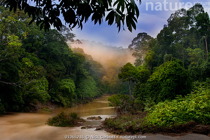 Dawn over the Segama River, with mist hanging over lowland rainforest. Heart of Danum Valley, Sabah, Borneo., ASIA,ATMOSPHERIC,borneo,catalogue4,Danum Valley,DAWN,DIPTEROCARP,elevated view,FORESTS,HABITAT,LANDSCAPES,Lowland,Malaysia,MIST,nature,Nobody,NP,rainforest,RESERVE,river,RIVERS,sabah,Segama River,SOUTH EAST ASIA,TREES,TROPICAL RAINFOREST,National Park,PLANTS, Nick Garbutt