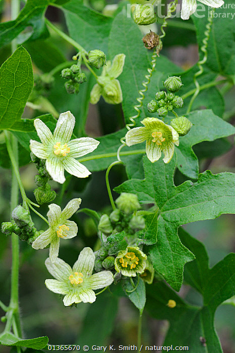 White Bryony (Bryonia dioica) flowers and tendrils, Norfolk, UK, July  ,  CLIMBERS,CUCURBITACEAE,DICOTYLEDONS,EUROPE,FLOWERS,LEAVES,PLANTS,TENDRILS,UK,VERTICAL,United Kingdom  ,  Gary K. Smith