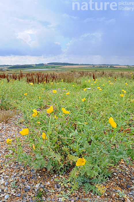 Yellow horned poppy (Glaucium flavum) growing on shingle saltings, Norfolk, UK, August  ,  COASTS,DICOTYLEDONS,EUROPE,FLOWERS,HABITAT,PAPAVERACEAE,PLANTS,SALTMARSHES,SHINGLE,UK,YELLOW,United Kingdom  ,  Gary K. Smith