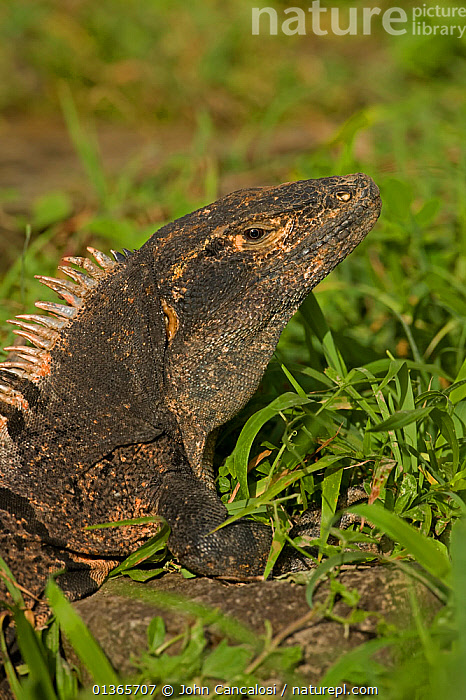 Spiny-tailed Iguana (Ctenosaura similis) head. Santa Rosa National Park, tropical dry forest, Costa Rica.  ,  CENTRAL AMERICA,COSTA RICA,HEADS,IGUANAS,IGUANIDAE,LIZARDS,NP,REPTILES,RESERVE,TROPICAL DRY FOREST,VERTEBRATES,VERTICAL,National Park,,Lizards,,,Lizards,  ,  John Cancalosi