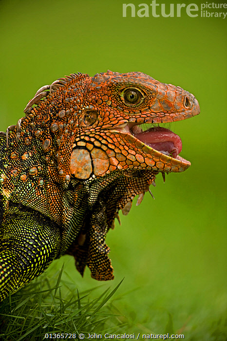 Green / Common Iguana (Iguana iguana) head in profile with mouth open, showing tongue. Costa Rican tropical rainforest.  ,  CENTRAL AMERICA,COSTA RICA,FULL FRAME,HEADS,IGUANAS,IGUANIDAE,LIZARDS,NP,PROFILE,REPTILES,RESERVE,TONGUES,TROPICAL RAINFOREST,VERTEBRATES,VERTICAL,National Park,,Lizards,,,Lizards,  ,  John Cancalosi